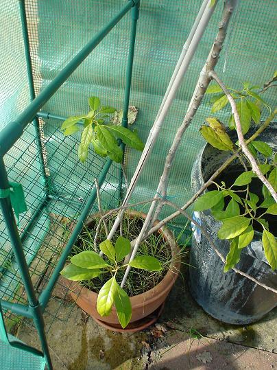Parched avocado plant